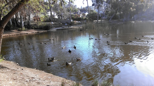The ducks and the pond